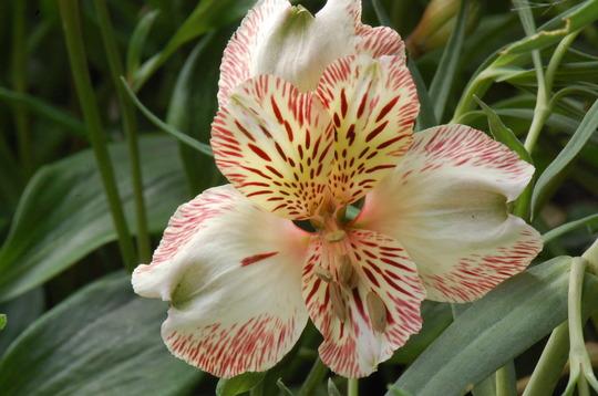 Alstroemeria 'Elvira' (Alstroemeria)