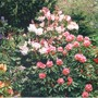 rhododendron paradise (rhododendron)