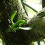 Mistletoe on Cox apple tree may 2010     '  for Dawn '