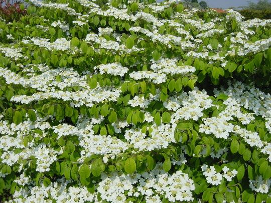 Viburnum Plicatum Mariesii  (Viburnum Plicatum Mariesii)