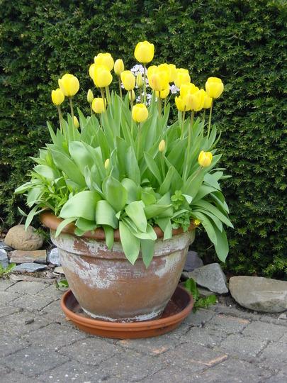 yellow tulips in pot in April 2005 (Tulipa gesneriana)