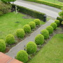 Buxus