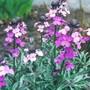 wallflower 'Bowles Mauve' (erysimum)