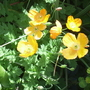 Californian_poppies.jpg