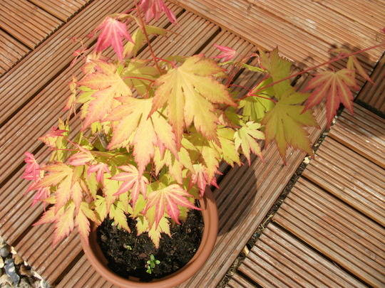 My Little Acer