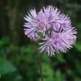 Thalictrum aquilegiifolium (Thalictrum aquilegiifolium (Meadow Rue))