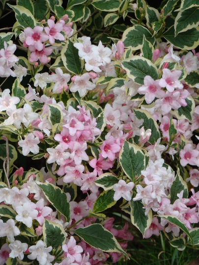 Weigela (Weigela florida variegata (Weigela))