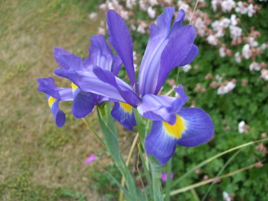 Dutch Irises (Iris)