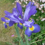 Blue_dutch_irises