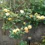 Gold Climbing Rose