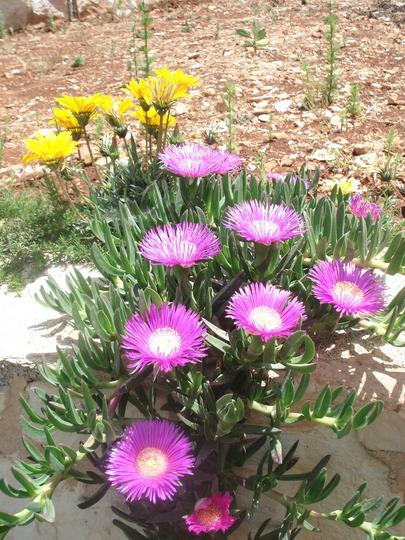 my succulents/carpobrotus edulis (carpobrotus edulis)