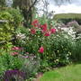 Hollyhocks_in_border
