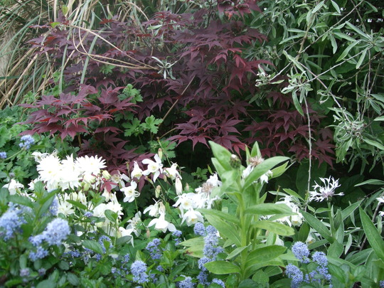 For Seaburngirl - Acer in a sea of white. (Acer palmatum )