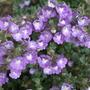 Chaenorhinum_origanifolium_blue_dream_