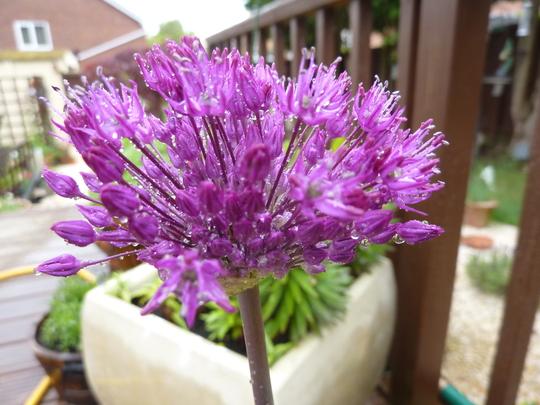 Purple Allium...the lone survivor!
