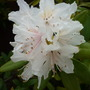 Rhododendron 2010