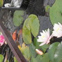 WATER LILLIES IN OUR FISHPOND