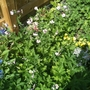 Geraniums Galore