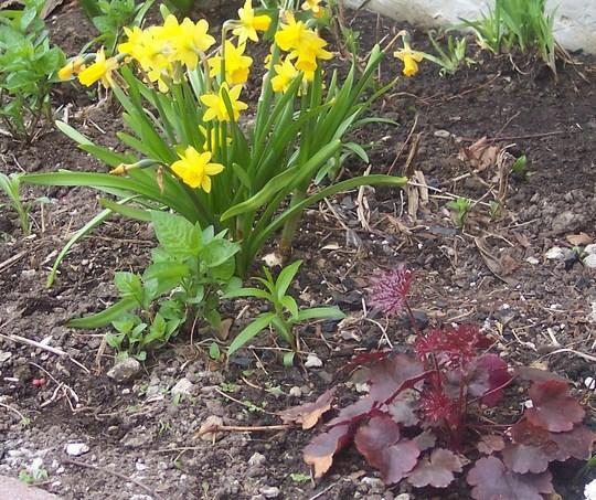Tete-a-Tete Narcissus and Heuchera Mocha Coral Bells