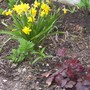 Tete-a-Tete Narcissus and Heuchera Mocha Coral Bells