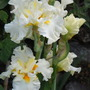Iris 'Princess Bride' (pic 3, numerous flowers)