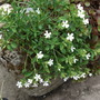 Saponaria ocymoides &#x27;Snow Tip&#x27; White Rock Soapwort