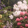 more rhodies (rhododendron)