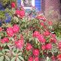 front garden rhodie (rhododendron)