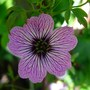 Geranium Cinereum &#x27;Ballerina&#x27;