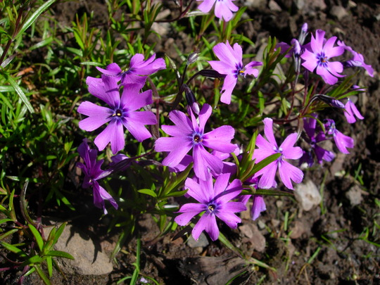 Phlox Subulata 'purple beauty' (Phlox subulata (Moss Phlox))
