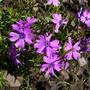 Phlox Subulata 'purple beauty' (Phlox subulata (Moss Phlox))