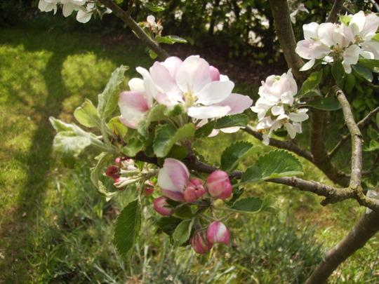 Family Apple Tree in Full Blossom 05.08 (Malus domestica (Vistabile))