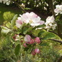 Family Apple Tree in Full Blossom 05.08 (Malus domestica (Vistabile))