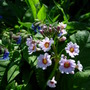 primula japonica (Primula)