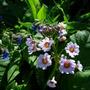 primula japonica (Primula)
