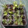 Marigold seed update (Tagetes patula ( I think ))