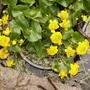 Marsh Marigold / Kingcup [Caltha palustris.] 04.08 (Caltha palustris)