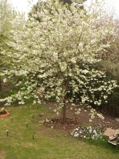 Samantha's Ornamental Cherry [Prunus 'Shirotae'] in Blossom 05.08 (Prunus 'Shirotae')