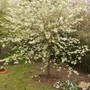 Samantha's Ornamental Cherry [Prunus 'Shirotae'] in Blossom 05.08 (Prunus 'Shirotae')
