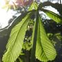 young horse chestnut leaf