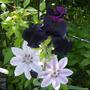 "Iris "" superstition "" and Nely Moser clematis"