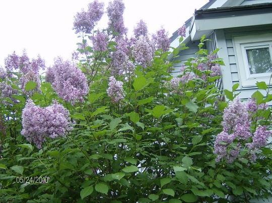 Freanch Lilac