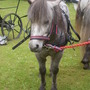 Sheltland pony . Moira game fair Northern Ireland