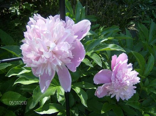 Peony - unknown