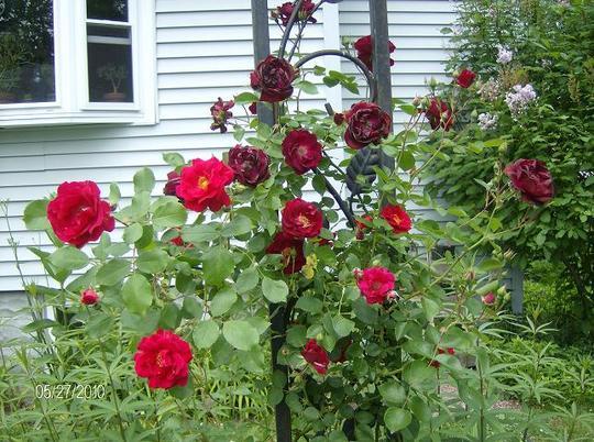 Rose - Red Blaze
