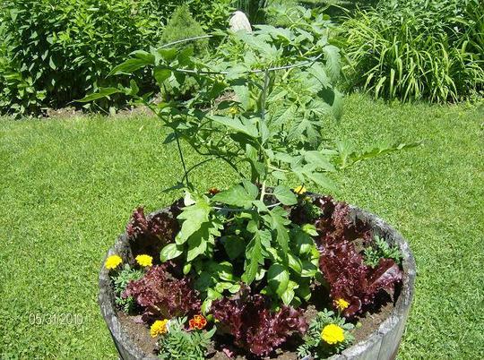 My little salad garden