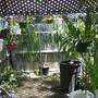 Epiphyllum - Orchid cactus