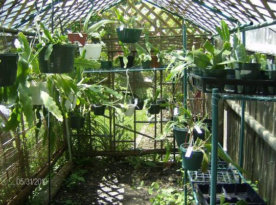 More Epiphyllum - Orchis cactus