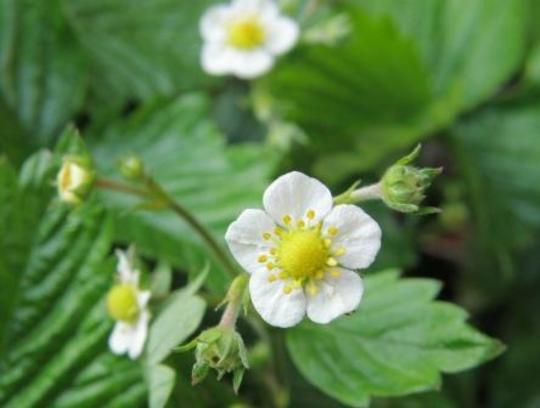 alpine strawberries