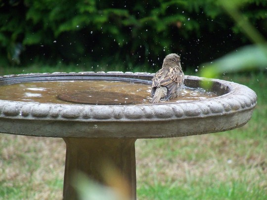 sparrows making the most of the bird bath